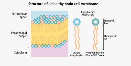 Healthy Brain Cell Membrane